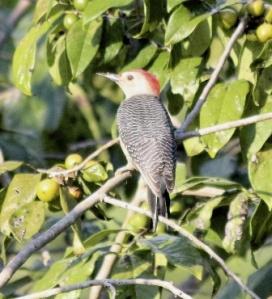 woodpecker side