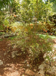 Pomegranate Bush